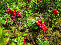 Ripe red cowberry grows in pine forest on the summer Stock Photography