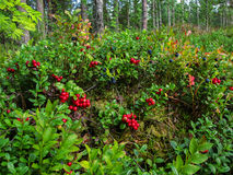 Ripe red cowberry grows in pine forest on the summer. Stock Photos