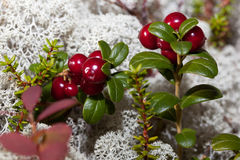 Ripe red cranberries in a forest glade. Overgrown with moss reindeer moss royalty free stock image