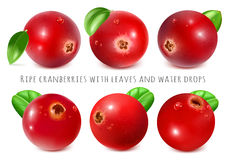 Ripe red cranberries with leaves. Stock Photo