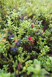 Cranberries lingonberries in a forest Stock Photo