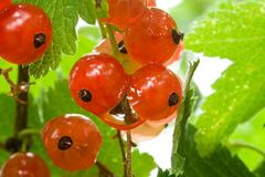 Ripe red currant Royalty Free Stock Image