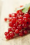 Ripe red currant berries Royalty Free Stock Image