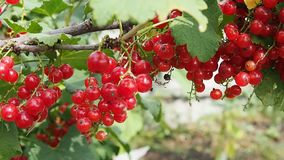 Ripe red currant berries on a bush stock video footage