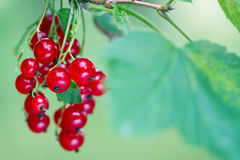 Ripe red currant berries and leaves Stock Image