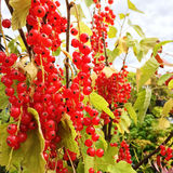 Ripe red currant berries Stock Image