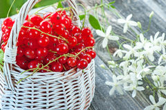 Ripe red currant berries in a white wicker basket on a background of small white flowers. Close-up. Royalty Free Stock Images