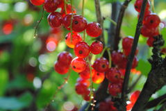 Ripe red currant on a branch of a bush. Bunches of ripe red currant bush on a branch on a sunny day Royalty Free Stock Photography