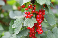 Ripe red currant Royalty Free Stock Images