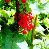 Ripe red currant close-up. Ripe red currant fruit with green leaves royalty free stock images