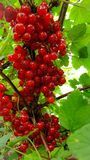 Ripe of red currant stock photography