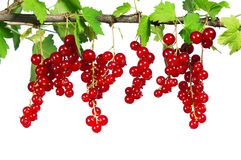 Ripe red currant. Fresh ripe red currant - isolated on white background Stock Photography