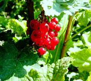 Ripe red currant close-up. Ripe red currant fruit with green leaves stock image