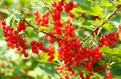 Ripe red currant in a garden. Branch of ripe red currant in a garden royalty free stock image