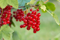 Ripe red currant in garden Stock Images