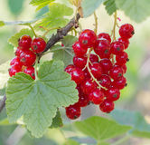 Ripe red currant in garden Stock Photography