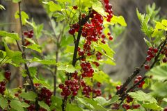 Ripe red currant grows on the branches of a Bush, useful berries, background stock photo