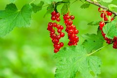 Ripe red currant hanging on the bush. royalty free stock image