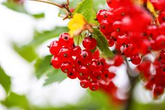 Ripe red currant in a garden. Ribes rubrum plant with ripe red berries. Ripe red currant in a summer garden. Ribes rubrum plant with ripe red berries royalty free stock photos