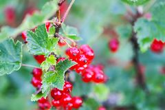Red currant in a summer garden. Ribes rubrum plant with ripe red berries royalty free stock image