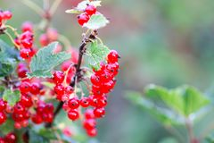 Red currant in a summer garden. Ribes rubrum plant with ripe red berries. Ripe red currant in a summer garden. Ribes rubrum plant with ripe red berries royalty free stock images