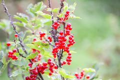 Red currant in a summer garden. Ribes rubrum plant with ripe red berries stock image