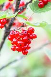 Red currant in a summer garden. Ribes rubrum plant with ripe red berries. Ripe red currant in a summer garden. Ribes rubrum plant with ripe red berries royalty free stock image