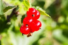 Red currant in a summer garden. Ribes rubrum plant with ripe red berries stock images