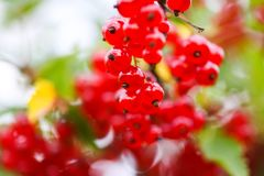 Ripe red currant in a summer garden. Ribes rubrum plant with ripe berries. Ripe red currant in a summer garden. Ribes rubrum plant with ripe red berries royalty free stock photos