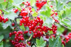 Ripe red currant in a garden. Ribes rubrum plant with ripe red berries royalty free stock photography