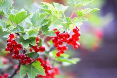 Ripe red currant in a garden. Ribes rubrum plant with ripe red berries. Ripe red currant in a summer garden. Ribes rubrum plant with ripe red berries stock image
