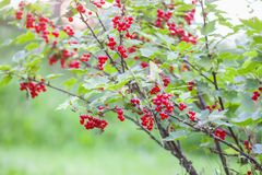 Ripe red currant in a garden. Ribes rubrum plant with ripe red berries royalty free stock photos