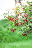 Ripe red currant in a garden. Ribes rubrum plant with ripe red berries stock photo