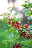 Red currant in a summer garden. Ribes rubrum plant with ripe red berries royalty free stock images