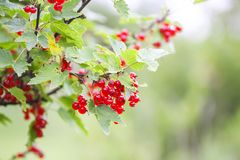 Red currant in a summer garden. Ribes rubrum plant with ripe red berries. Ripe red currant in a summer garden. Ribes rubrum plant with ripe red berries royalty free stock photography