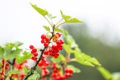 Red currant in a summer garden. Ribes rubrum plant with ripe red berries royalty free stock photos