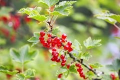 Red currant in a summer garden. Ribes rubrum plant with ripe red berries. Ripe red currant in a summer garden. Ribes rubrum plant with ripe red berries stock photo