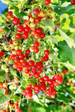 Ripe red currants on the bush Stock Image