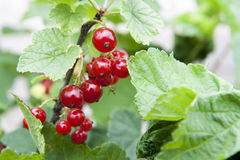 Ripe red currants on the bushes in the garden. Selective focus (some berries in focus, some are not Stock Photo