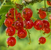 Ripe red currants close-up as background royalty free stock photos