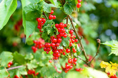 Ripe red currants in the garden, Royalty Free Stock Image