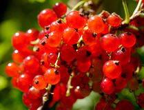 Ripe red currants in the garden, Royalty Free Stock Photography