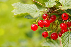 Ripe red currants in the garden, selective focus . Stock Photo