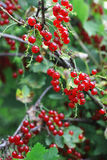 Ripe red currants. Healthy ripe red currants closeup Stock Images