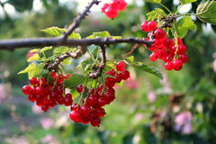 Ripe red-currents. Royalty Free Stock Image
