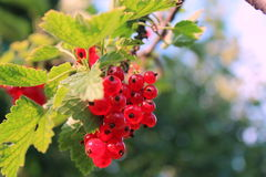 Ripe red-currents. Royalty Free Stock Photos