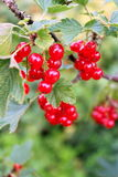 Ripe red-currents. Royalty Free Stock Images