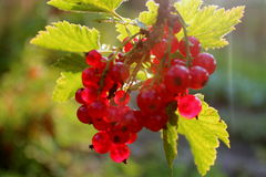Ripe red-currents. Royalty Free Stock Photography