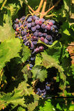 Ripe red dark blue grapes in the garden Stock Images