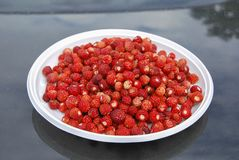 Ripe red forest strawberries lie on a white plastic plate. On the hood of the car. Collecting the gifts of the forest Stock Photo